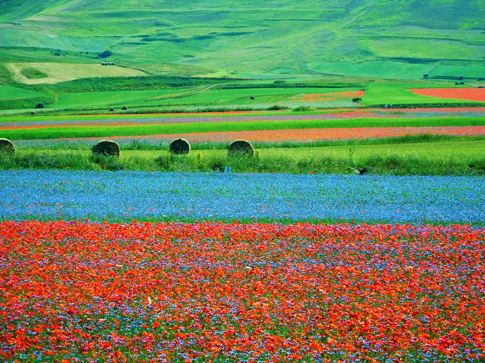 La fioritura a Castelluccio di Norcia - Foto di Stefania Alessandrini