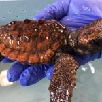 Peppiniello, storia della tartaruga salvata dalle acque fredde