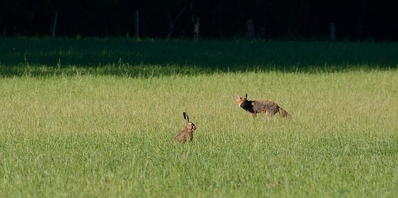 La lepre e la volpe - Racconto di Andrea Clementini