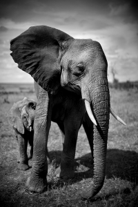 Elephant and Calf, Kenya 2011© Christian Cravo